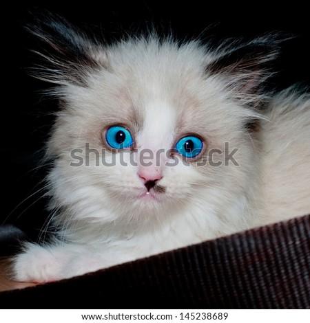 Rag doll kitten - stock photo