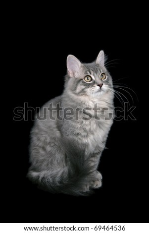 Ragamuffin cat - stock photo