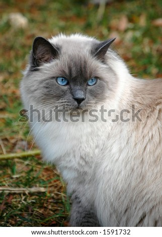 Ragdoll cat in a full winter coat outside - stock photo