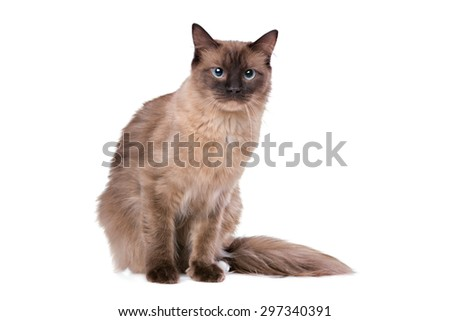 Ragdoll cat in front of a white background - stock photo