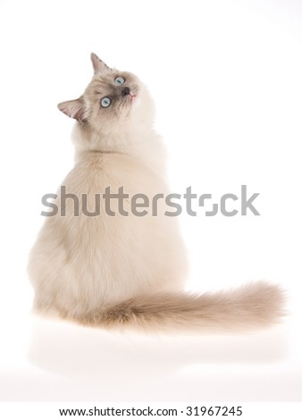 Ragdoll cat looking backwards, on white background