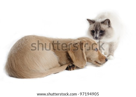 Ragdoll cat looks towards a puppy that is lying on an isolated background and appears to be afraid of the cat. - stock photo