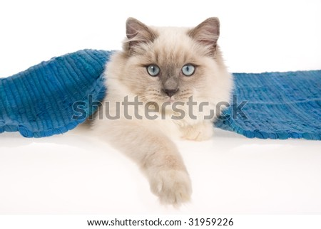 Ragdoll cat lying under blue woven rug, on white background - stock photo