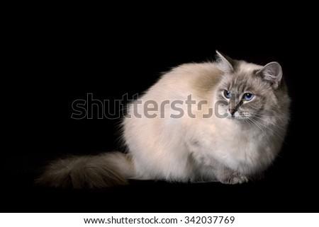 Ragdoll Cat on black backdrop - stock photo