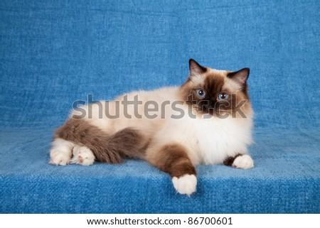 Ragdoll cat on blue background - stock photo