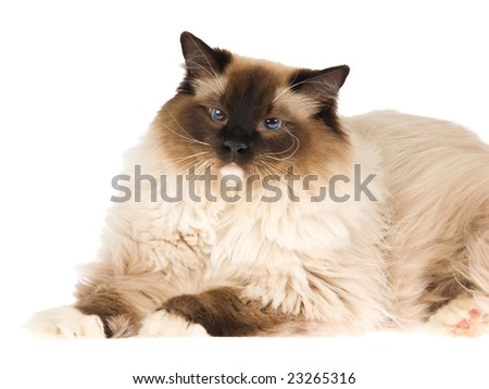 Ragdoll cat sealpoint isolated on white