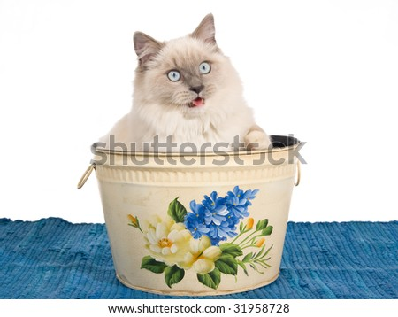 Ragdoll cat sitting inside floral paper bin on white background - stock photo