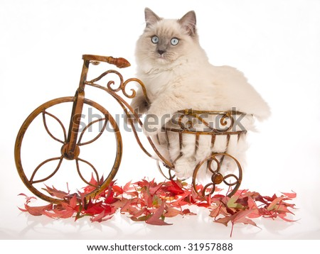 Ragdoll cat sitting inside miniature brown bicycle with autumn leaves on white background - stock photo