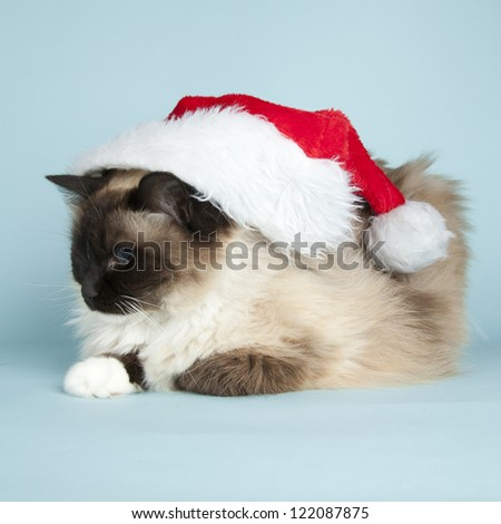 Ragdoll cat with christmas decorations