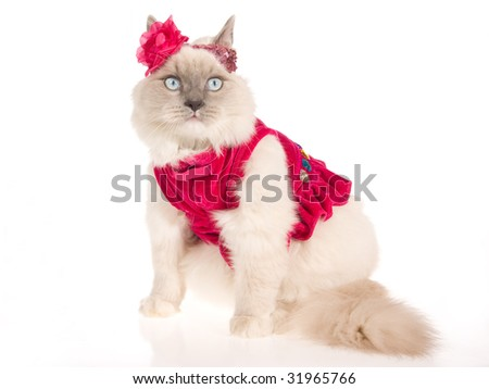 Ragdoll cat with pink frilly dress and shiny head band, on white background