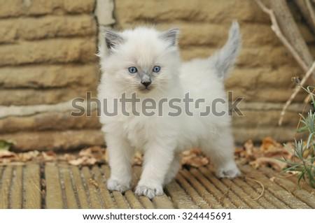 Ragdoll Kitten - stock photo