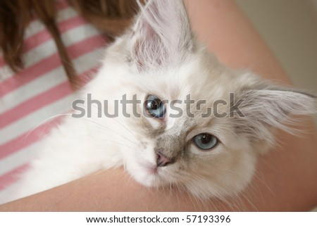 ragdoll kitten - stock photo