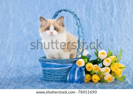 Ragdoll kitten in blue basket with yellow roses - stock photo