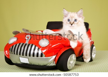 Ragdoll kitten in red toy car, on green background - stock photo