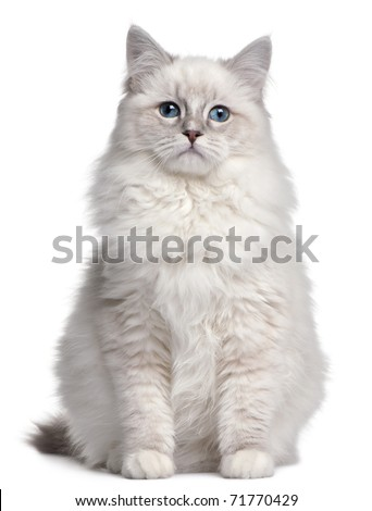 Ragdoll kitten, 5 months old, in front of white background - stock photo