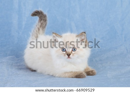 Ragdoll kitten on blue background - stock photo