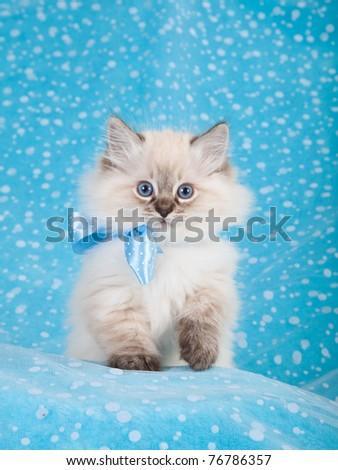 Ragdoll kitten on blue background - stock photo