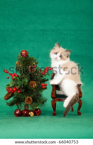 Ragdoll kitten on mini chair with Christmas tree