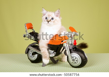 Ragdoll kitten on orange toy bike, on green background - stock photo