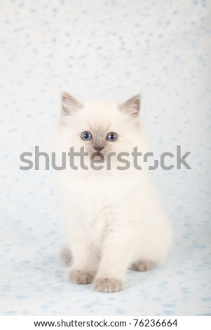 Ragdoll kitten on pale blue white background with small blue polka dots - stock photo