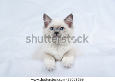 Ragdoll kitten on white fabric