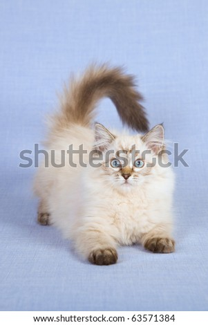 Ragdoll kitten playing - stock photo