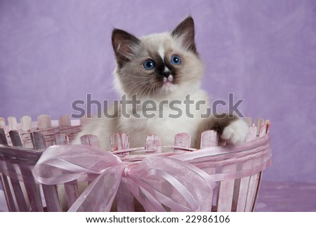 Ragdoll kitten sitting in pink basket decorated with bow - stock photo