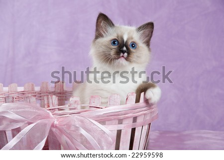 Ragdoll kitten sitting in pink basket on pink background fabric - stock photo