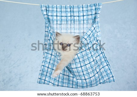 Ragdoll kitten sitting inside clothes pin bag suspended from clothesline - stock photo