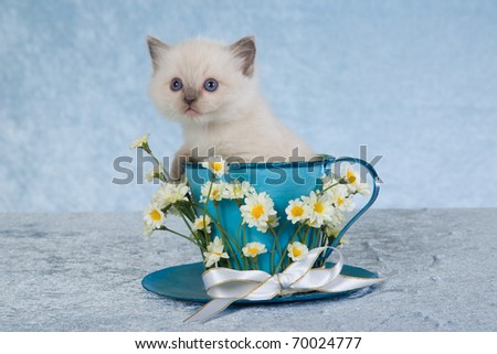 Ragdoll kitten sitting inside large blue cup with white daisies flowers - stock photo