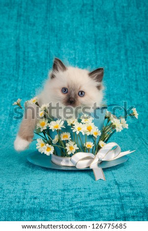 Ragdoll kitten sitting inside large cup decorated with white daisies and ribbon - stock photo