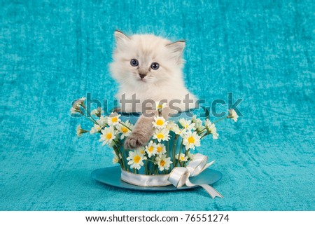 Ragdoll kitten sitting inside large cup with white flowers - stock photo