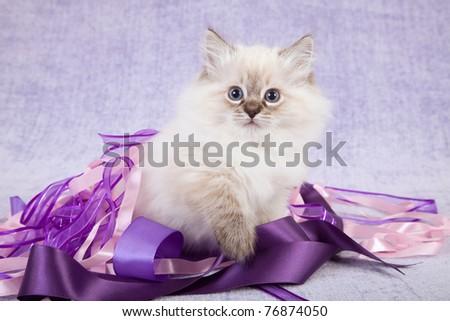 Ragdoll kitten sitting on purple lilac ribbons - stock photo
