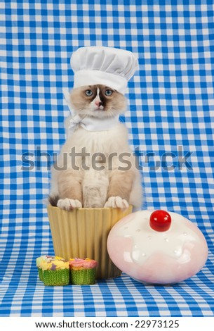 Ragdoll kitten wearing chef outfit sitting in cookie jar - stock photo