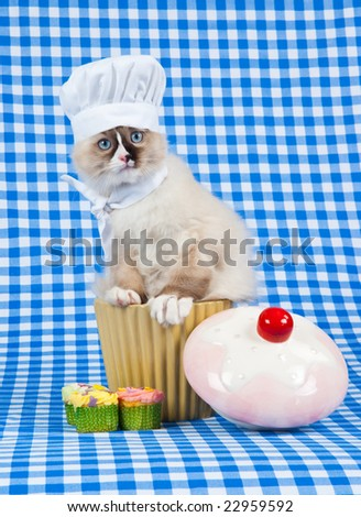 Ragdoll kitten wearing chef outfit sitting in cupcake jar - stock photo