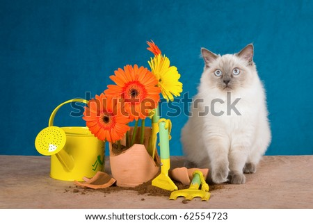 Ragdoll kitten with broken pot plant and daisies flowers - stock photo