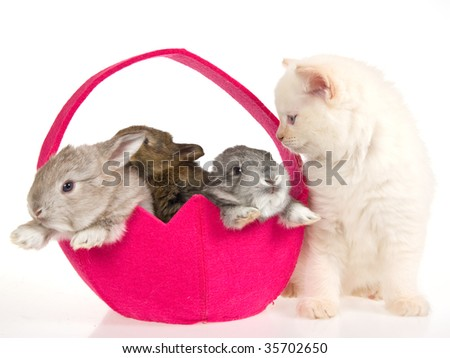 Ragdoll kitten with 3 bunnies in pink easter basket on white background - stock photo