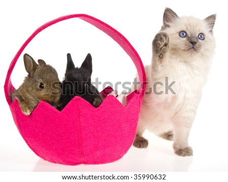 Ragdoll kitten with bunnies in pink easter basket on white background - stock photo