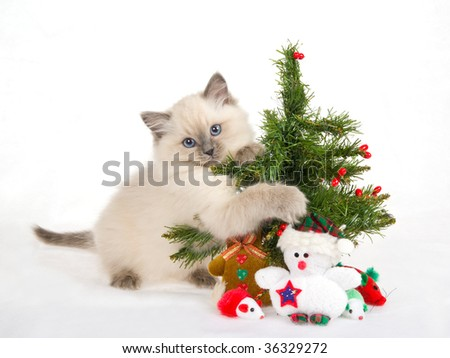 Ragdoll kitten with christmas tree and toys, on white fake snow fabric background - stock photo