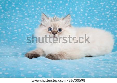 Ragdoll kitten with crown tiara on blue background - stock photo