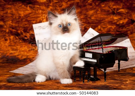 Ragdoll kitten with miniature grand piano and music sheets - stock photo