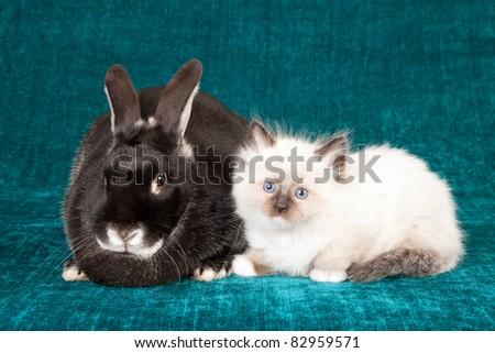 Ragdoll kitten with Silver Fox rabbit bunny on teal background - stock photo