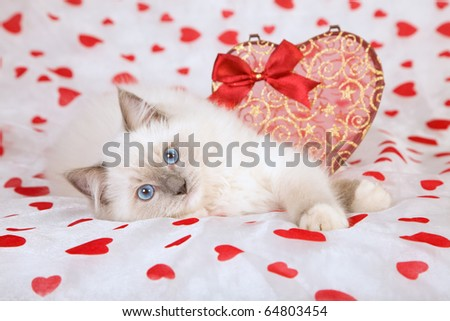 Ragdoll kitten with Valentine heart - stock photo