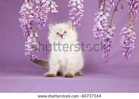 Ragdoll kitten with wisteria flowers - stock photo