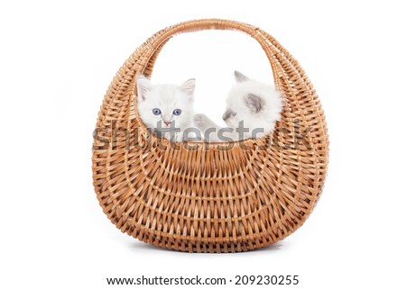 Ragdoll kittens in bell basket on white background - stock photo