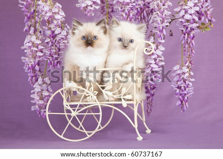 Ragdoll kittens in mini wagon, with wisteria flowers - stock photo