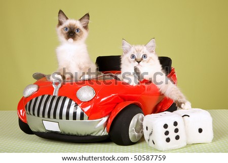 Ragdoll kittens in red toy car, on green background - stock photo