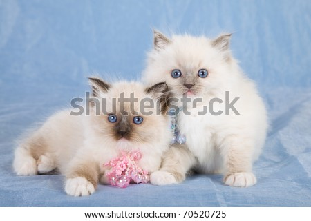 Ragdoll kittens on blue background - stock photo