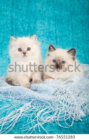 Ragdoll kittens on blue lace - stock photo