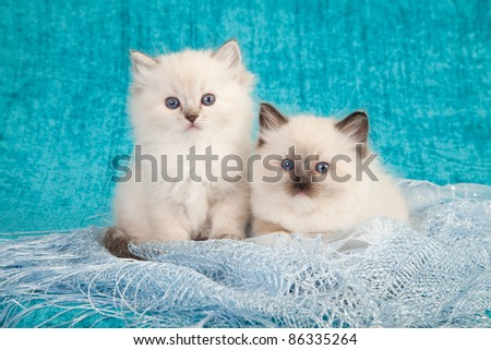 Ragdoll kittens on blue lace on teal background - stock photo